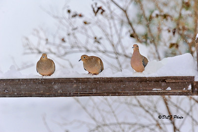 Three doves on a fence