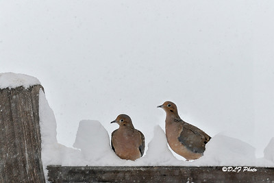 Two Mourning Doves in snow holes on fence