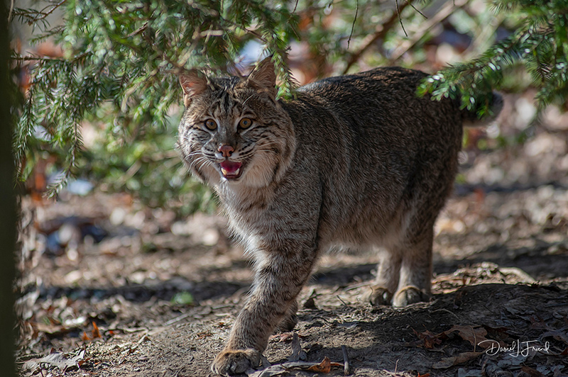 Bobcat walking under the tree limbs
