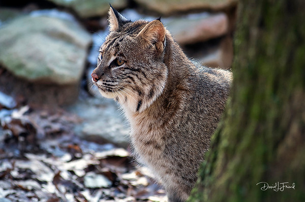 Bobcat looking from behind a tree