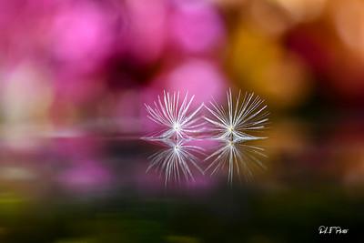 Two dandelion seeds