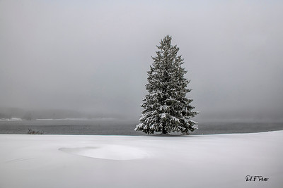 Lone pine tree surrounded by snow on foggy day