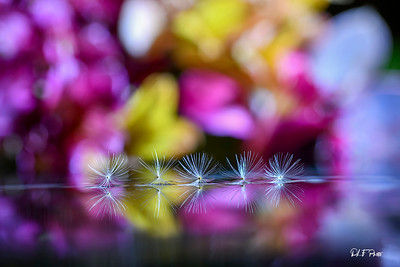 Dandelion seeds in a row