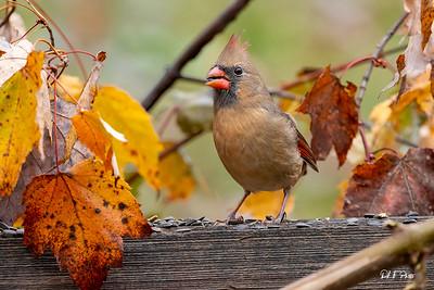Female cardinal feeding in the yellow fall leaves