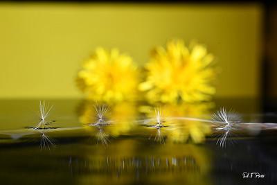 Dandelion seed floating in front of flowering dandelions
