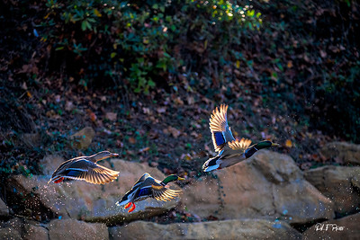 Mallard ducks flying to get away from the area