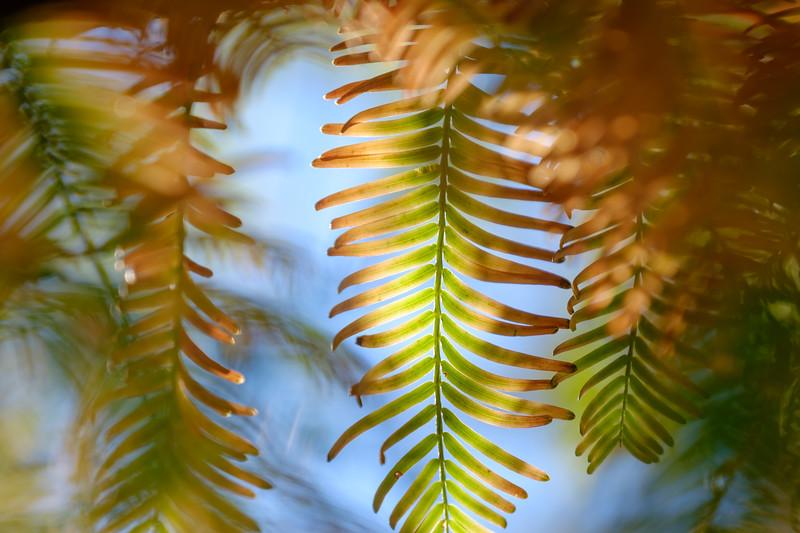 Transitions - Dawn Redwood