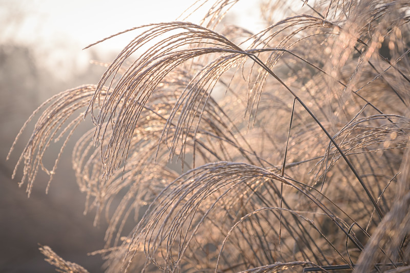 Miscanthus on a frosty morning