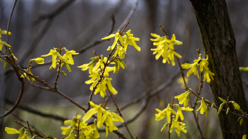 Forsythia telling me spring is just around the corner :-)