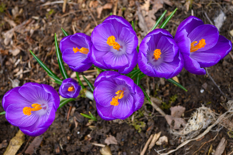And now the crocus is open for business :-)