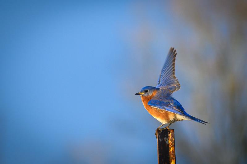 Morning Stretch - Eastern Bluebird (Male)