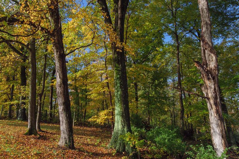 Maple, Oak, etc