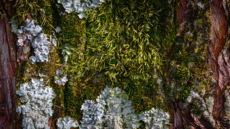 Lichen and Moss on my Dawn Redwood
