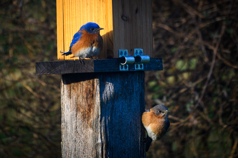 My bluebird couple