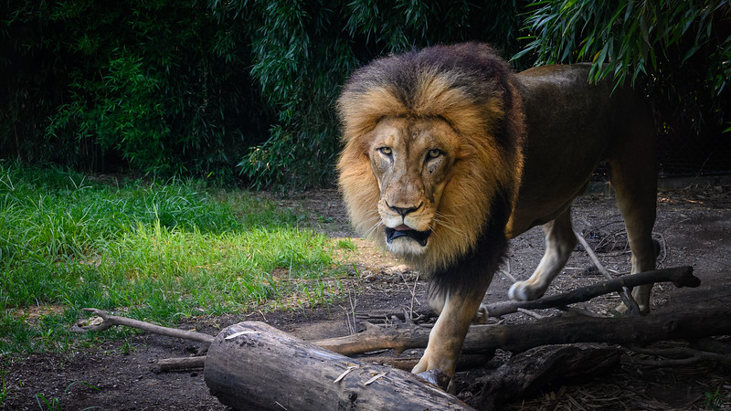 Beautiful male lion at the zoo