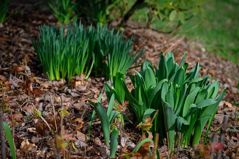 Ornamental onion (allium) and daffodil in the back.