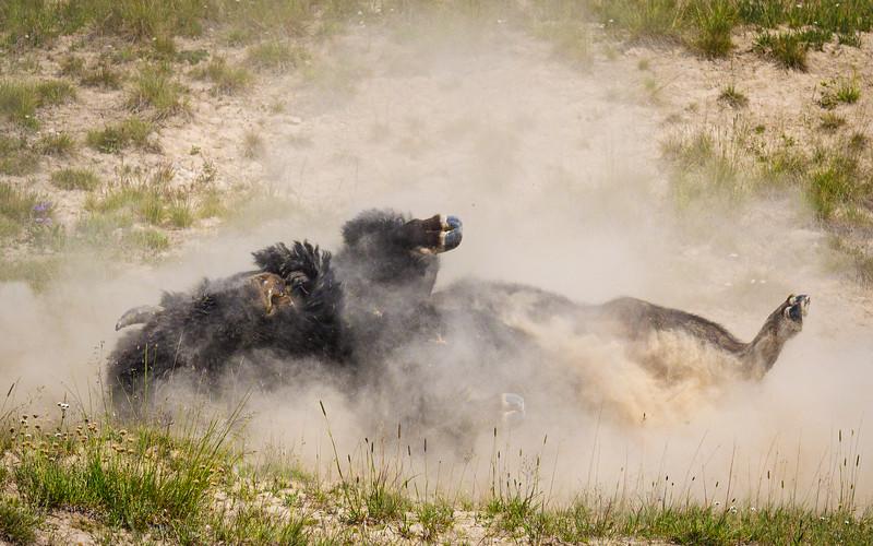 Dust Bath - Bison in Yellowstone