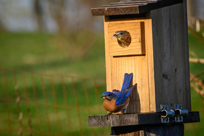 Welcome home, bluebird family :)
