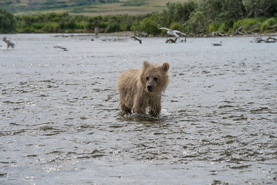 Baby brown bear cub lookiing around while standing in water