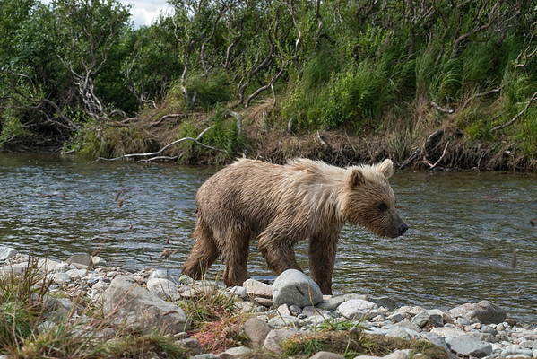 Baby brown bear cub walking along shore of Funnel Creek