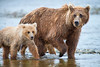 Mother brown bear and cub walking up stream