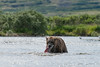 Mother brown bear catching salmon