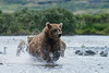 Mother brown bear chasing after salmon