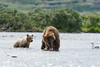Mother brown bear with salmon bear cub looking