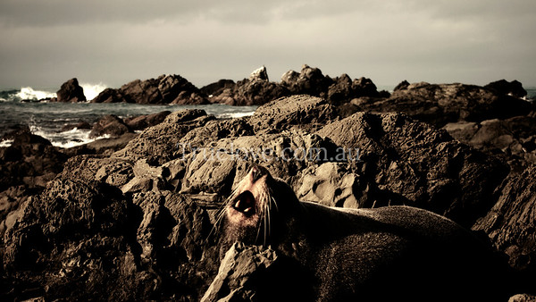 10.6.2013  NZ fur seal lazing on the rocks on the south island of New Zealand, pretty much telling me to back up a little in this photo. My brother once got trapped in his car by one, they can be huge and aggressive apparently, but I figured we had the advantage of legs.  © Tess Peni 2013