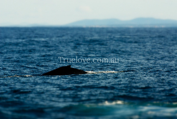 07.07.2012  HUMPBACK WHALES migrate north from Antarctica to Queensland, up the east coast of Australia, to give birth or mate. They must pass the jutting tip of rock that forms St Georges Head in the Jevis Bay area, which we migrate to every winter with friends, just to see them pass by. © Tess Peni  Nikon D200, 200mm f/16 1/320s ISO 400