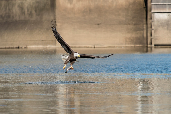 Bald eagle catching fish out of the water