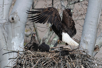 Bald eagle in nest with eaglets