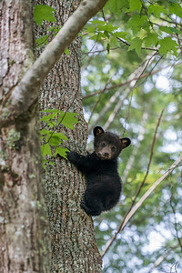Black bear cub climbing down tree