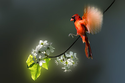 flying Cardinal landing on branch