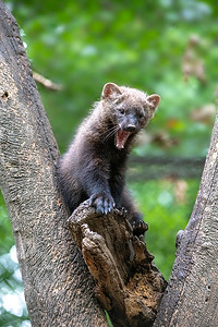 Fsiher yawning in fork of tree