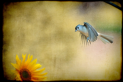 Tufted Titmouse flying over flower