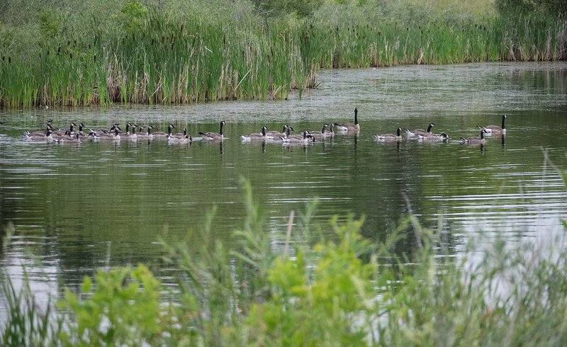 One of the many beautiful sloughs in Lakewood Park, with, of course, some of the many Canada Geese
