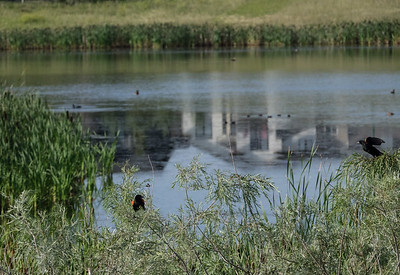 Red-winged blackbirds throng the parks