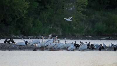 I headed down to the river Monday evening to photo pelicans at the weir; however, they were all out on a sandbar, so I had to be satisfied with zoomed in shots.