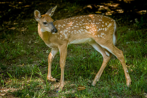 Fawns 2016