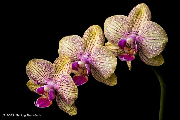 April 7, 2018 Orchids