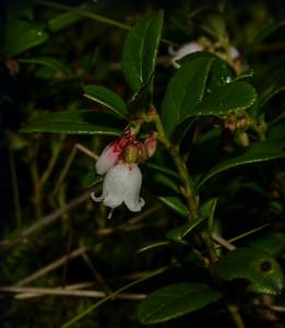 Tyttebærblomst