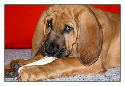 Bloodhound Puppy