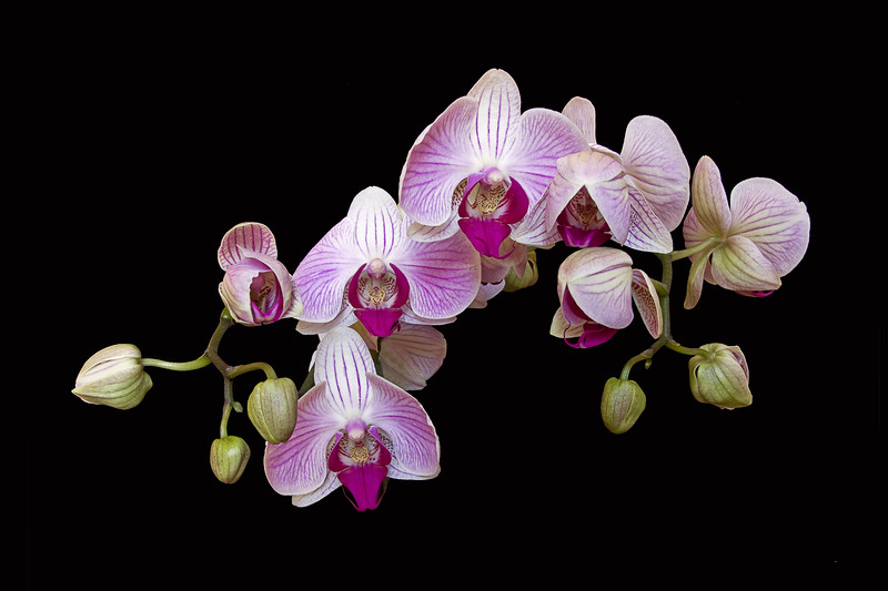 Orchid, Detail