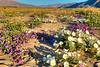 8579 Desert Lily