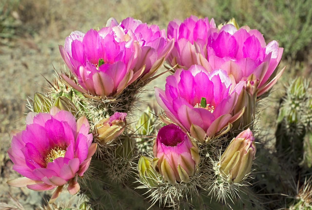 9327 Hedgehog Cactus