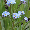 Mountain Forget-Me_Not