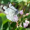 Spring White butterfly on summer Dogbane