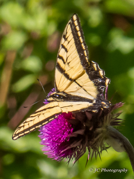 Western Tiger Swallowtail sipping from Thistle