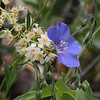 Blue Flax among the Chokecherry